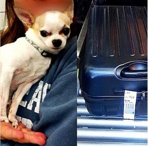 Un chihuahua trouvé dans une valise
