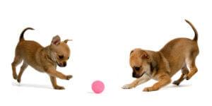 Bien choisir un jouet pour chien