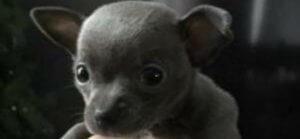 Le propriétaire d'un chihuahua volé offre 2000$ pour le récupérer