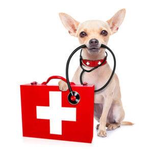 Assurance pour chihuahua