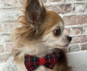 Nœud papillon pour Chihuahua : un cadeau idéal pour Noël !
